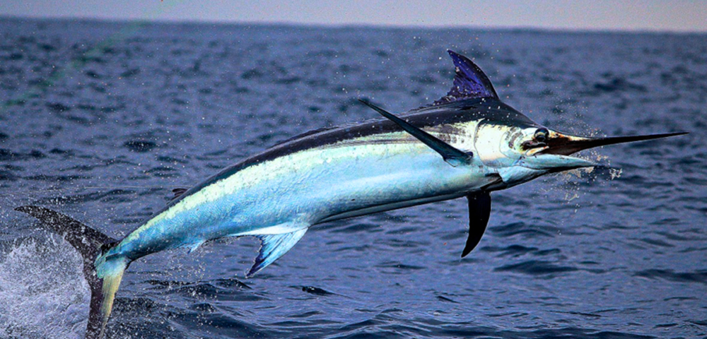 Breach Swordfish