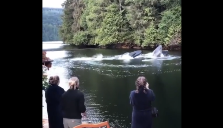 Humpback Whales swim Next to lodge